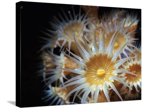 Close Up of Yellow Anemone (Epizoanthus Scotinus)-Jeff Foott-Stretched Canvas Print