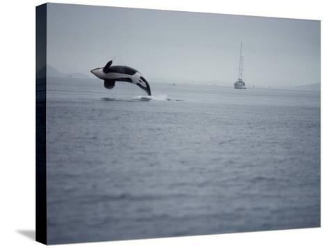 Killer Whale Breaching in Air over Ocean, Boat in Background-Jeff Foott-Stretched Canvas Print