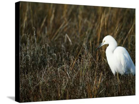 Snowy Egret on the Ground in Wetlands-Jeff Foott-Stretched Canvas Print