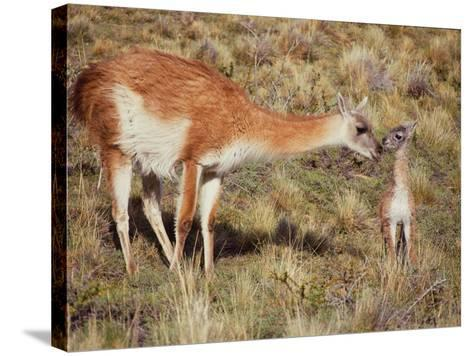 Guanaco Nuzzles Her Newborn, Only Minutes Old-Jeff Foott-Stretched Canvas Print