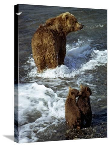 Grizzly Bear, Ursus Arctos, Cubs, Mcneil River, Alaska, Usa-Jeff Foott-Stretched Canvas Print