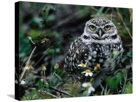 Burrowing Owl at a Den Site Peers Out from Grass-Jeff Foott-Stretched Canvas Print