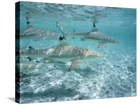 Blacktip Reef Sharks Swim in Shallow Water-Jeff Foott-Stretched Canvas Print