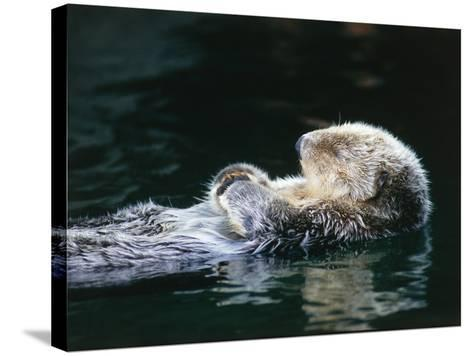 Sea otter sleeps while floating on back-Jeff Foott-Stretched Canvas Print