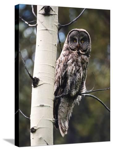 Great Grey Owl Perched in an Aspen Tree in the Daylight-Jeff Foott-Stretched Canvas Print