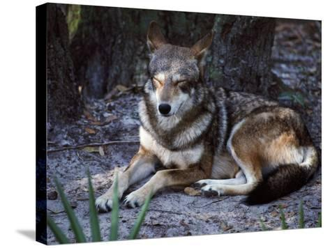 Red Wolf Sleeping (Canis Rufus)-Jeff Foott-Stretched Canvas Print