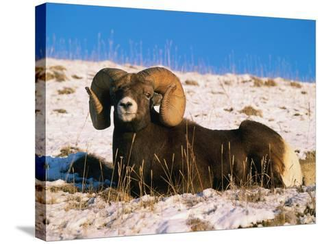 Bighorn Sheep Rests in the Snow-Jeff Foott-Stretched Canvas Print