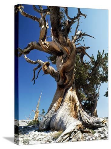 Bristlecone Pine, Ancient Tree-Jeff Foott-Stretched Canvas Print
