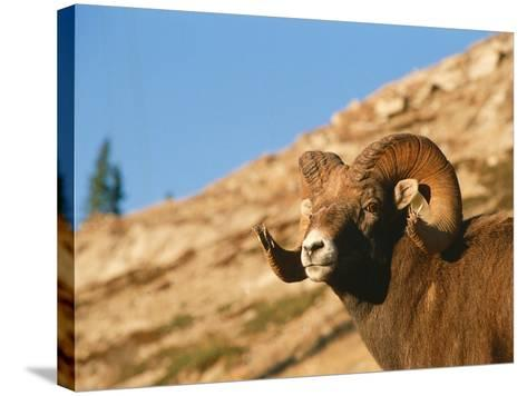 Bighorn Sheep Ram Stands on Hill-Jeff Foott-Stretched Canvas Print