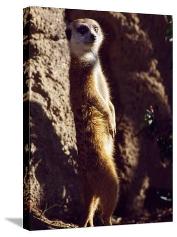 Meercat Stands on its Hindlegs-Jeff Foott-Stretched Canvas Print