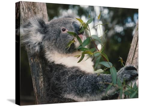 Koala Bear Eats Leaves in Tree-Jeff Foott-Stretched Canvas Print