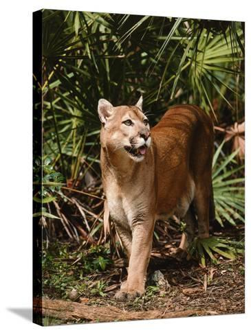 Mountain Lion Walks Through Leaves-Jeff Foott-Stretched Canvas Print