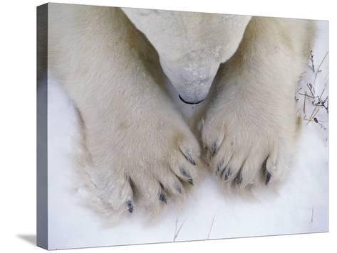 Detail of Polar Bear Paws and Nose-Jeff Foott-Stretched Canvas Print