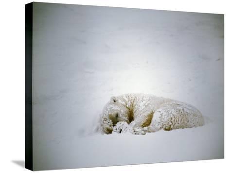 Polar Bear Sleeps in a Snowstorm-Jeff Foott-Stretched Canvas Print