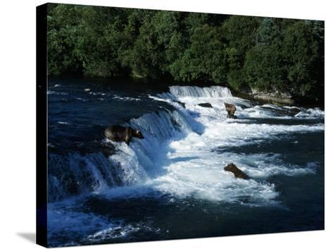 Grizzly Bears Fishing-Jeff Foott-Stretched Canvas Print