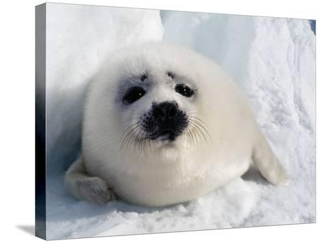 Harp Seal Pup-Jeff Foott-Stretched Canvas Print