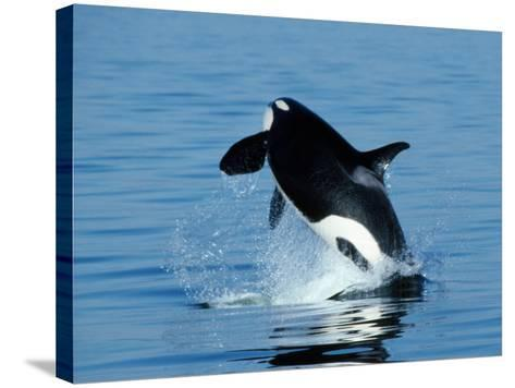 Killer Whale Female Breaching-Jeff Foott-Stretched Canvas Print