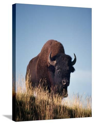 Bison Stands on Hill-Jeff Foott-Stretched Canvas Print