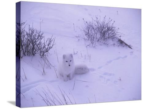 Arctic Fox Sits in the Snow-Jeff Foott-Stretched Canvas Print