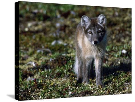 Arctic Fox Cubs Near Den Site-Jeff Foott-Stretched Canvas Print