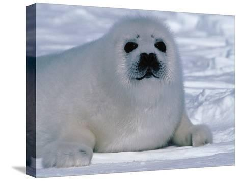 Harp Seal Pup Lays in Snow-Jeff Foott-Stretched Canvas Print