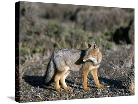 Arctic Fox-Jeff Foott-Stretched Canvas Print