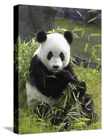 Tennessee, Memphis, a Giant Panda, on Loan to the Local Zoo, Enjoys a Snack of Bamboo Shoots-Karen Pulfer Focht-Stretched Canvas Print