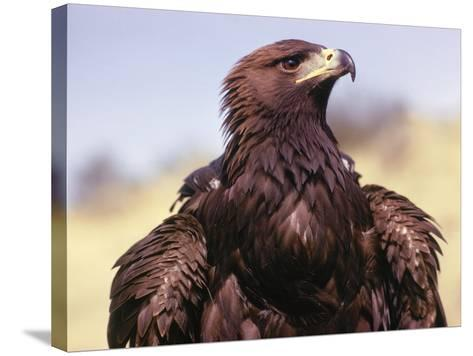 Profile of Golden Eagle-Jeff Foott-Stretched Canvas Print