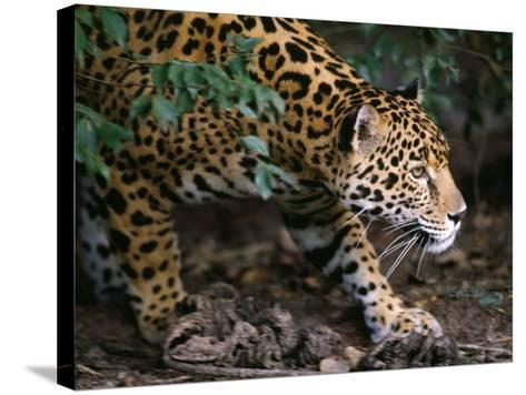Jaguar-Jeff Foott-Stretched Canvas Print