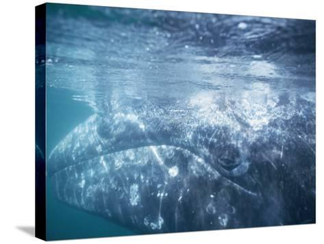 Grey Whale Calf Underwater-Jeff Foott-Stretched Canvas Print