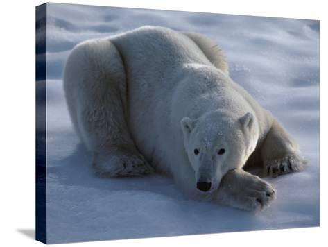 Polar Bear Lies on Ice-Jeff Foott-Stretched Canvas Print