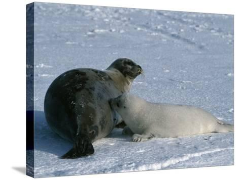 Harp Seal Mother Nurses Pup-Jeff Foott-Stretched Canvas Print