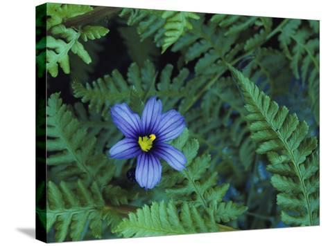 Detail of Blue-Eyed Grass-Jeff Foott-Stretched Canvas Print