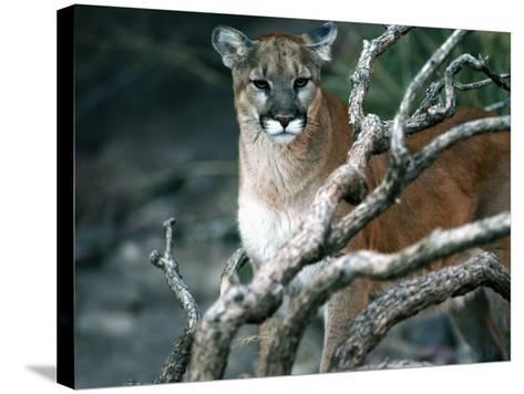 Puma in Sonoran Desert-Jeff Foott-Stretched Canvas Print