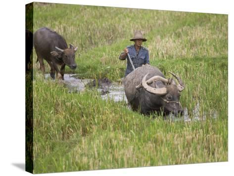 China, Yunnan Province, Farmer Ploughing with Water Buffalo in the Rice Paddy-Keren Su-Stretched Canvas Print
