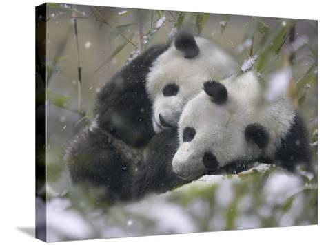China, Sichuan Province, Wolong, Two Giant Pandas Sleep in the Bamboo Bush in Snow-Keren Su-Stretched Canvas Print