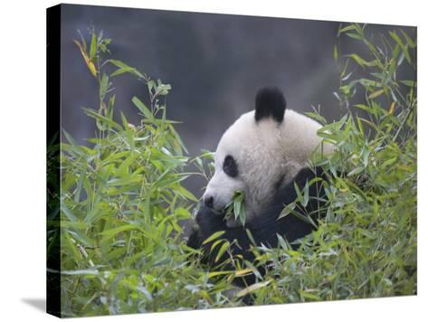 China, Sichuan Province, Wolong, Giant Panda Eating Bamboo in the Bush-Keren Su-Stretched Canvas Print
