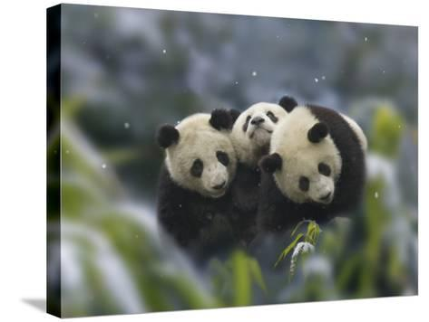 China, Sichuan Province, Wolong, Three Giant Panda Cubs in the Forest on a Snowy Day-Keren Su-Stretched Canvas Print