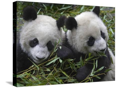 China, Sichuan Province, Wolong, Two Giant Pandas Eating Bamboo in the Bush-Keren Su-Stretched Canvas Print