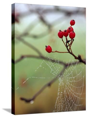 Red Berries and a Spider Web--Stretched Canvas Print