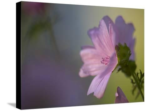 A Pink Flower--Stretched Canvas Print