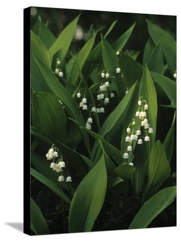Small White Flowers with Big Green Leaves--Stretched Canvas Print