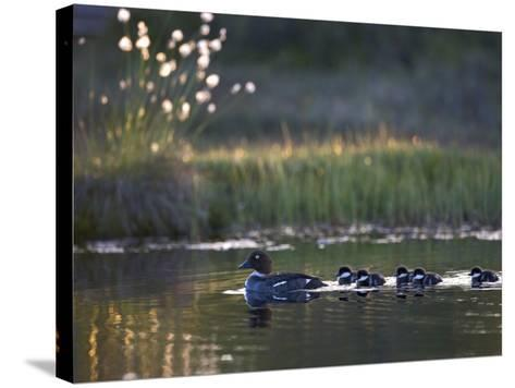 Common Goldeneye Ducks (Bucephala Clangula) with Ducklings Swimming in a Pond--Stretched Canvas Print