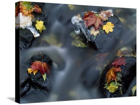High Angle View of Maple Leaves and Rocks in a Stream--Stretched Canvas Print