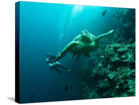 Diver and Turtle--Stretched Canvas Print
