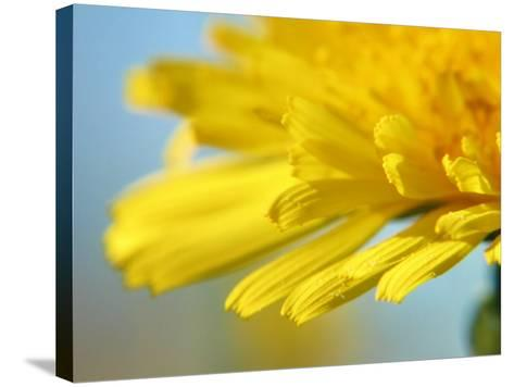 Dreamy Dandelion Detail, Fresh and Colorful--Stretched Canvas Print