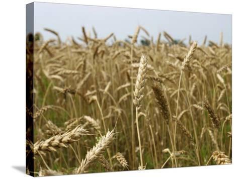 Arkansas, Paragould, Winter Wheat Is Planted in the Fall and Harvested in the Spring--Stretched Canvas Print