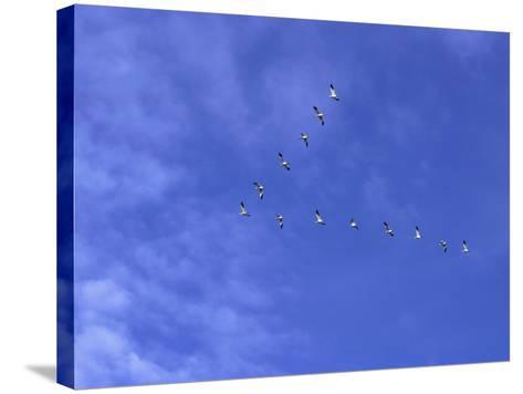Arkansas, Stuttgart, Geese Head South in the Skies over Southeastern Arkansas--Stretched Canvas Print