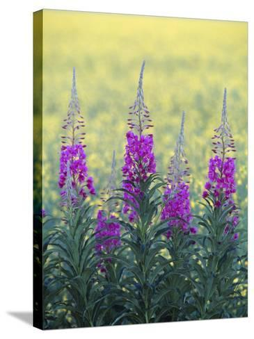 Fireweed--Stretched Canvas Print