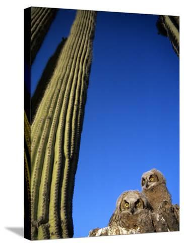 Low Angle View of Two Brown Owls Sitting Next to Green Cactus Plants, Brilliant Blue Sky Overhead--Stretched Canvas Print